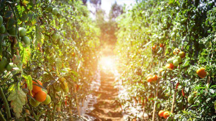 Mildiou de la tomate