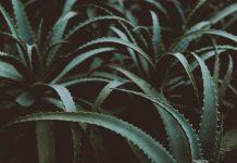 Plante aloe vera